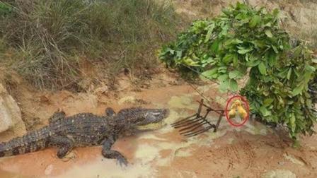 农村小哥特大号铁笼抓鳄鱼, 神器一出, 鳄鱼一来想跑门都没