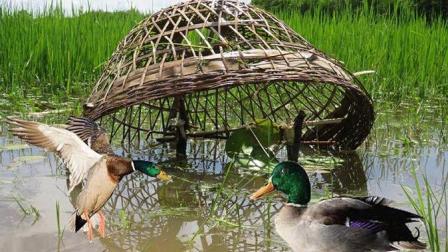 农村大叔盖鸭大法, 神器一出一抓一个准, 保准野鸭有来无回