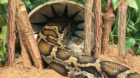 农村小伙野外捕蛇, 自制陷阱等蛇, 没多久竟诱捕到一条大蟒蛇