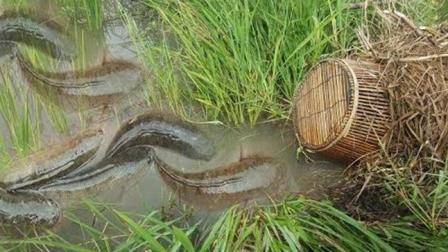 在农村的这种水田沟里下个鱼笼, 每天都收抓到三五斤鱼