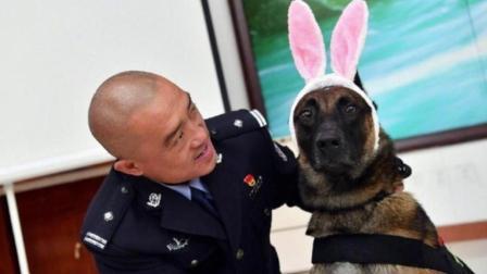 警犬集体过生日 吃特制蛋糕卖萌带粉色兔子耳朵