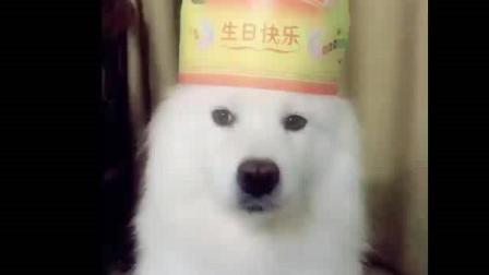 宠物狗视频: 我狗狗吃饭了, 这个饭我最喜欢, 那是我的生日蛋糕