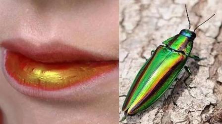 日本口红的起源居然是虫子做的, 有钱人才能用, 看起来太恶心了!