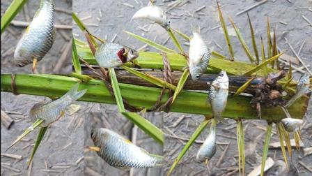 这种捕鱼方式真的好特别, 为什么鱼会任由它扎呢?