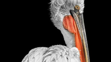 手机如何修一张低调黑背景的鹈鹕动物作品 欧海春手机摄影教程