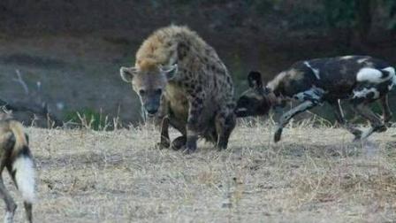 非洲鬣狗大战野狗, 二哥你以有今天?