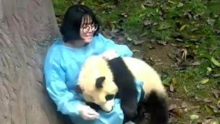 当熊猫化身老流氓, 饲养员小姐姐是崩溃的, 你丫和泰迪什么关系!