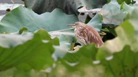 荷塘池鹭鸟类视频 野生鸟视频