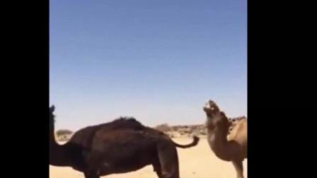 原来骆驼是这样配种的, 长见识了