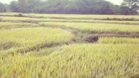 一片金黄色的稻田, 又是一年丰收忙