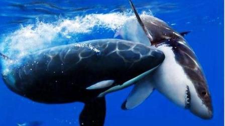 很多人都知道, 世界上最大的鲸鱼是蓝鲸, 你知道第二大的鲸鱼是什么吗?