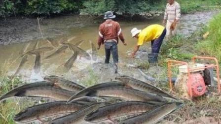 小河鱼多泛滥成灾, 农村大叔抽干水抓鱼, 周围人好羡慕