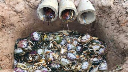 农村大哥田边挖深坑布陷阱, 剁碎猪肉当诱饵, 骗来一窝螃蟹