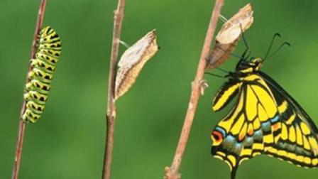 毛毛虫成为蝴蝶的华丽转身