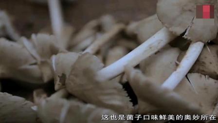 舌尖上中国: 菌中大哥大, 荔枝菌, 不管有多贵, 最好美味留给家人