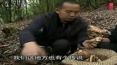 舌尖上中国: 松茸, 与土鸡搭配的鲜香, 酒店大厨也做不出这种味!