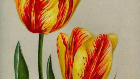 【艺达】彩铅零基础快速入门花卉教程-超写实郁金香 下