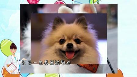博美狗狗吃饭的时候一定要清淡, 这样他们才美的雪白白!