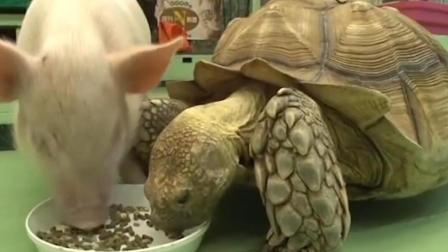 搞笑宠物: 猫狗夺食经常见 猪龟争食你见过吗