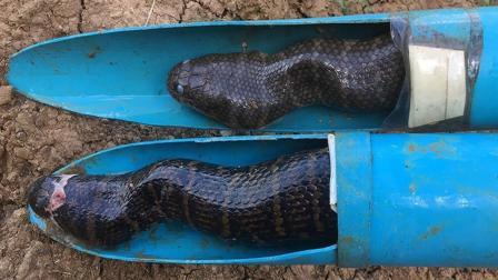 农民做的捕蛇神器, 几个小时就能收获2条大黑蛇!