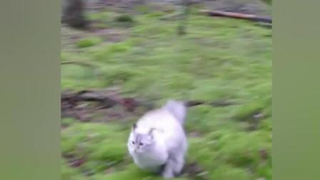 霸气萌猫 战斗名族西伯利亚森林猫