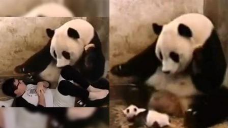 男子恶搞熊猫妈妈 熊猫: 我生了个什么玩意儿