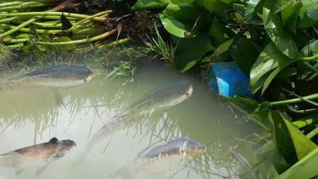 男子在湖边挖了个深坑, 用水葫芦盖住入口, 竟为了抓这种鱼