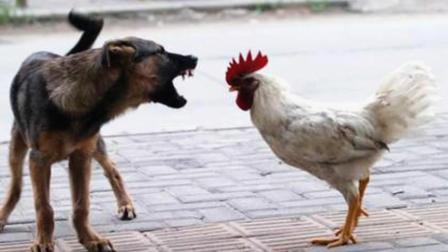 狼狗斗不过公鸡, 真是丢了狗狗界的脸!