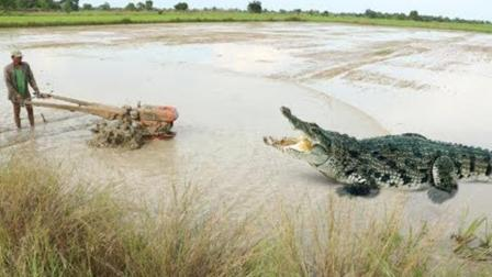 一家人野外犁田, 突然水田里杀出一条鳄鱼, 男孩一棍下去, 悲剧了