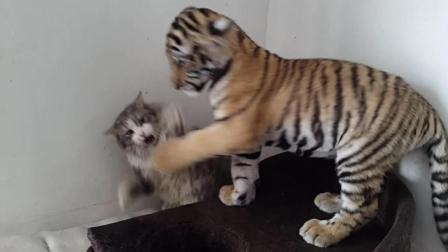 搞笑! 老虎和猫一起长大却活出一副狗样, 被打惨了!