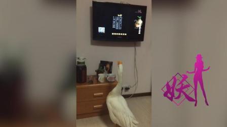 难道这只鹅已经成精了, 能看电视、上厕所