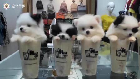 茶杯犬奶茶店开业啦, 这么可爱的奶茶你舍得喝吗? 一个个的小可爱简直萌我一脸血......