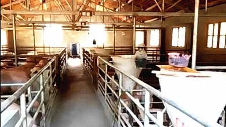 新建猪场这样设计, 对开布局土地使用效率高