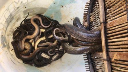 实拍柬埔寨高手捕捉水蛇, 每天靠这捕蛇技巧, 月收入10000