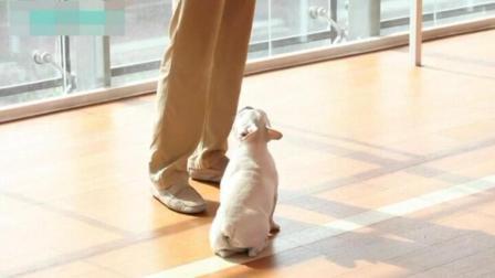 怎么教狗狗拜拜动作 成年拉布拉多训练视频 腊肠犬怎么样训