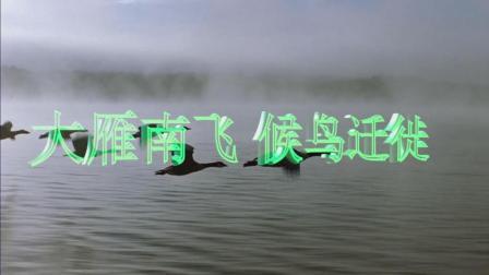 大雁南飞 候鸟迁徙