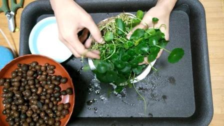 1段根茎, 就能爆盆的铜钱草, 2分钟完成玻璃方缸水培