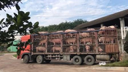 天气晴朗好卖猪, 今日猪价7.2元每斤, 这车肥猪值多少钱?