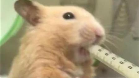 小仓鼠疯狂咬吃的, 主人都急死了