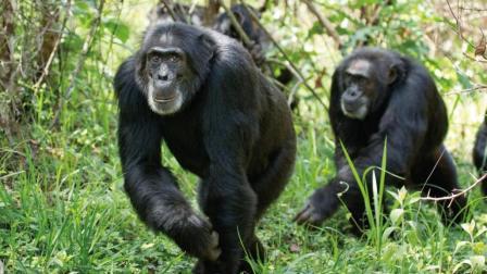 猎人不自量力要狩猎黑猩猩, 结果被黑猩猩完虐!