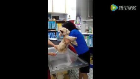 欢乐萌宠 主人带狗狗去量肛体温时, 狗狗那叫的一个惨啊!