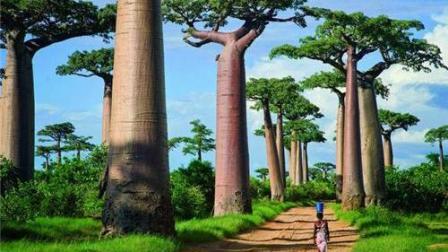 """原来非洲这种""""猴面包树""""并不是因为猴喜欢吃才叫这个名字啊"""