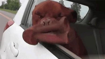 当开车遛狗时遇上抖音, 这铲屎官真心会作死