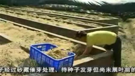 油茶树的栽培方法 油茶的种植技术视频