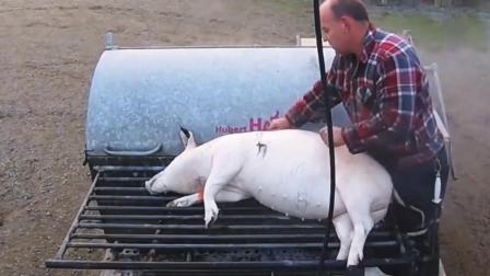 黑猪变白的全过程, 杀猪脱毛好方式