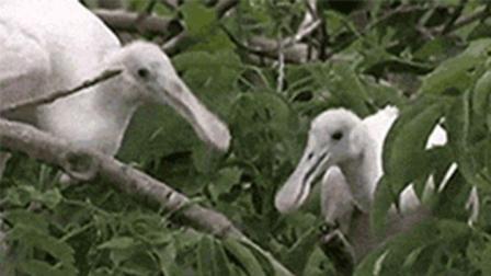 两只鸟蹲在树枝上玩抖音, 这么有才华肯定是祖传的