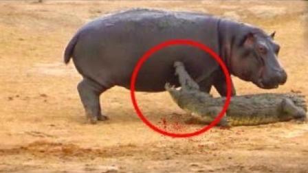 当河马遇到鳄鱼, 这次动物大战谁会赢?