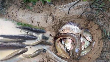 农村小哥林边自制捕鱼陷阱, 仅2个小时竟有这么多鱼钻了进去