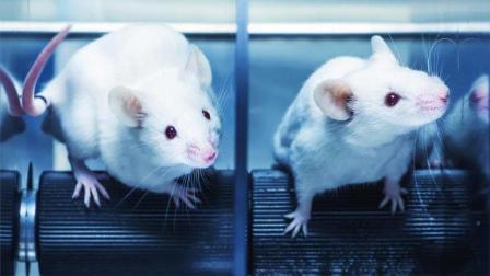"""科学家疯了! 给老鼠装""""人脑"""", 有智商了怎么办?"""