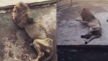 孟加拉动物园内 惊现一只骨瘦如柴的狮子